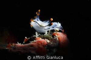 nudibranchia....... snoot by Afflitti Gianluca 